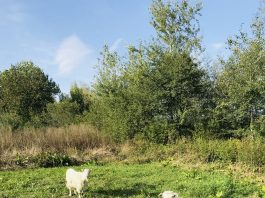 Caș, Urdă și Lapte proaspăt de CAPRĂ de la ferme locale judetul Suceava